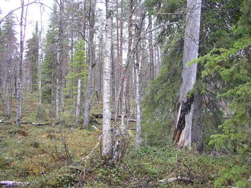 Pohjois suomen metsät